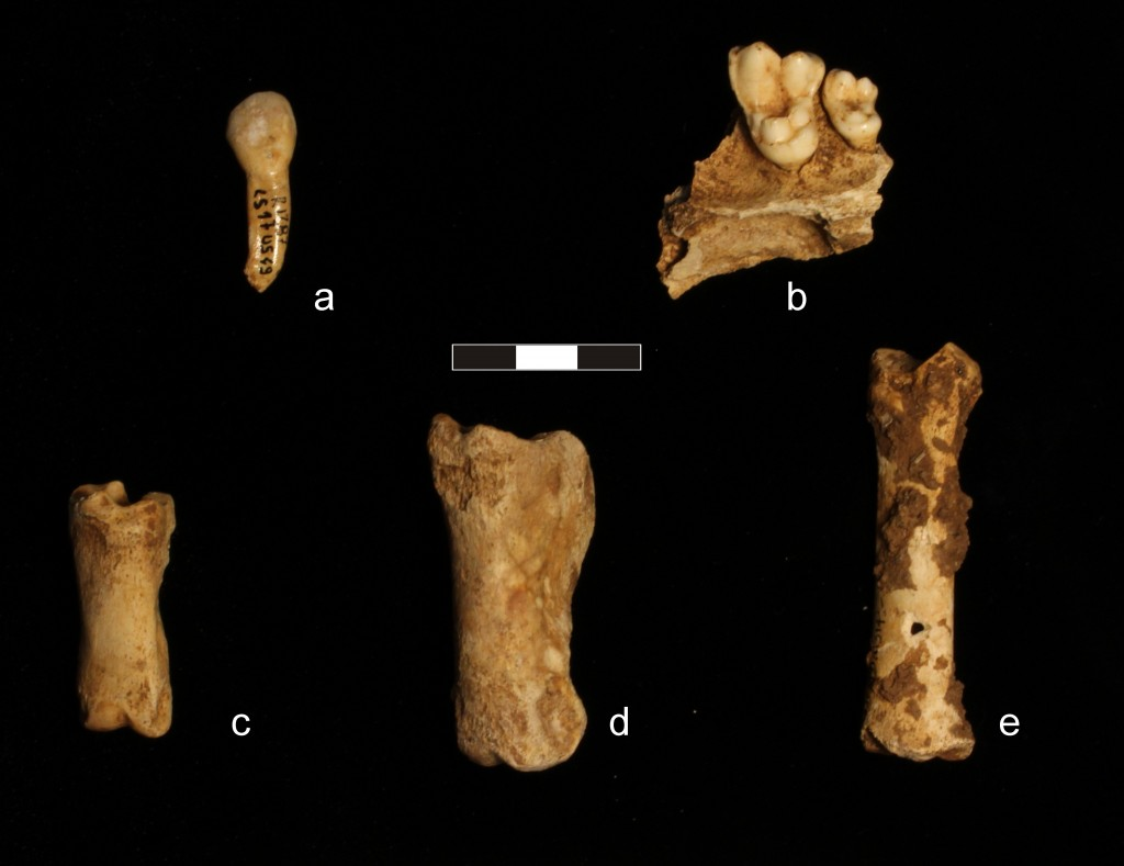 Faunal remains from SU 9: a: ox incisor; b: fragment of dog mandible; c: sheep/goat phalanx; d: deer phalanx; e: pig metapodial